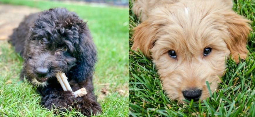 Aussiedoodle vs Goldendoodle from Canva