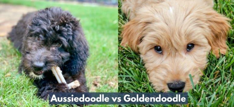 Aussiedoodle vs Goldendoodle