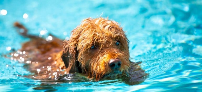 Can Goldendoodle Swim- Featured Image
