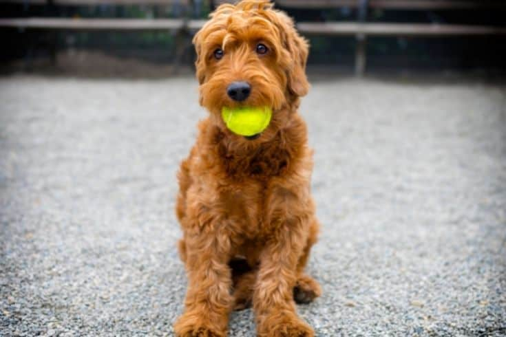 An Image of F1 Goldendoodle with a ball on his mouth