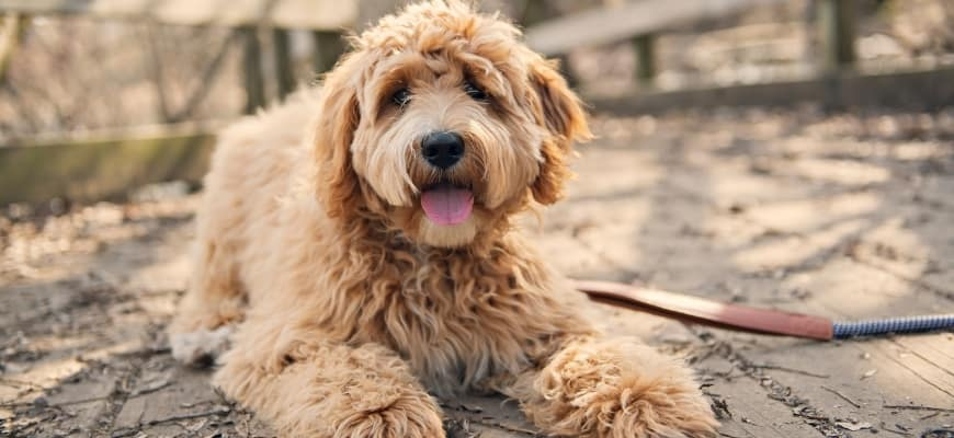 Golden Doodle Puppy - Featured Image