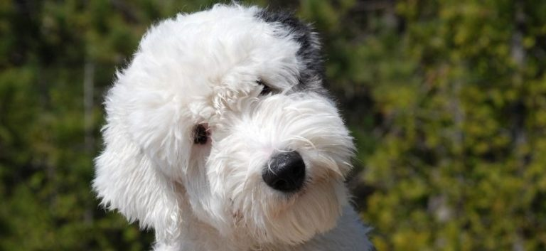 close up picture of a white goldendoodle