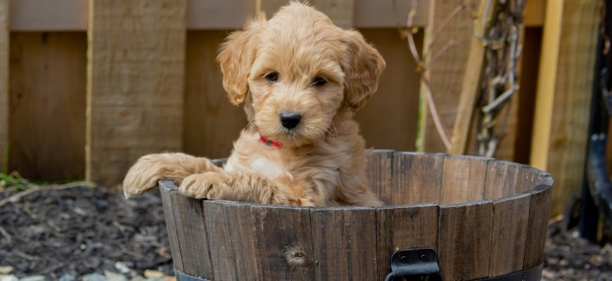 Goldendoodle puppy in a bucket