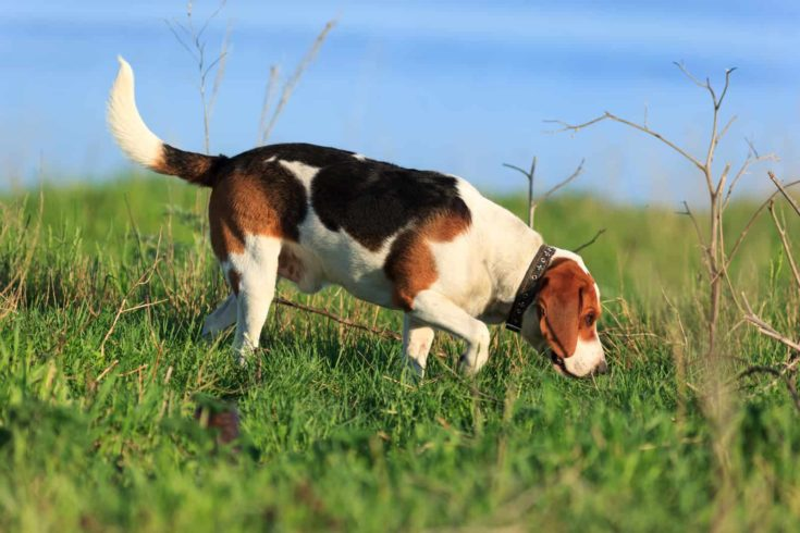 Scent hound outdoors executes commands