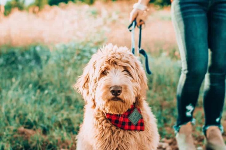 goldendoodle outdoor with red and black checked cloth in the neck