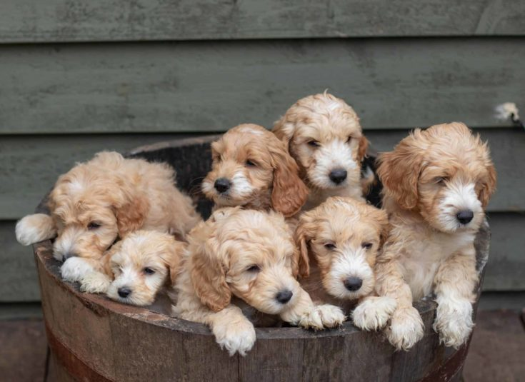goldendoodle puppies in a wooden bucket