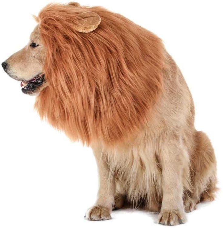 Dog Lion Mane in white background