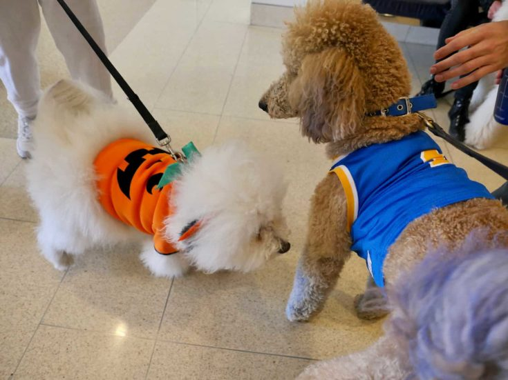 Therapy dog poodle encounters other dogs in costume on Halloween in Westwood California, Los Angeles