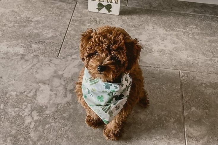 F1b Red Goldendoodle on the floor with a handkerchief on the neck