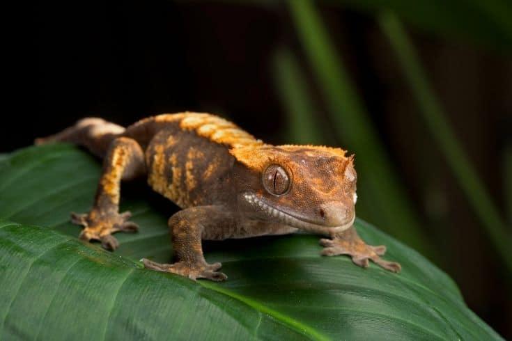 A gecko on a large leaf