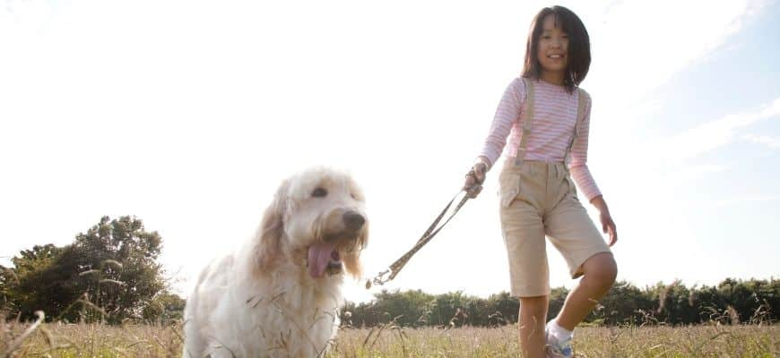 Goldendoodle with a young girl