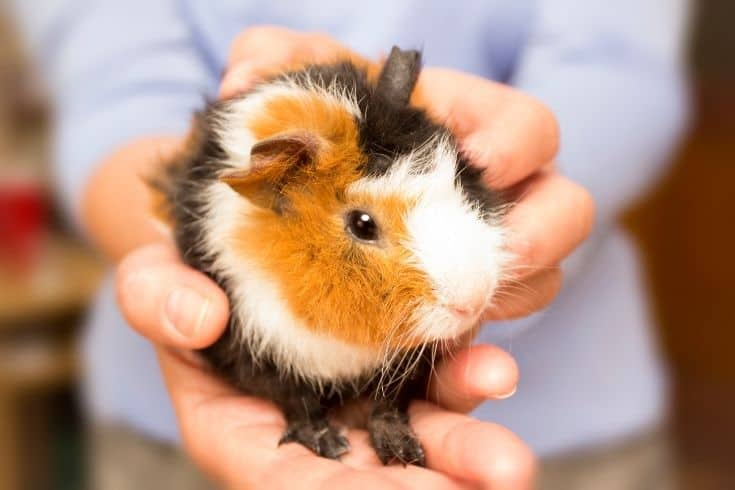 Guinea Pig on hand of a person