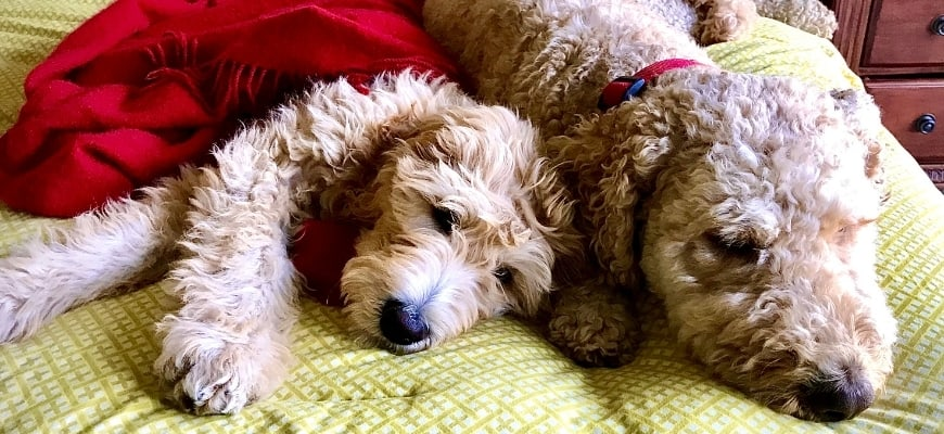 Two Goldendoodles lying on the bed with red blanket