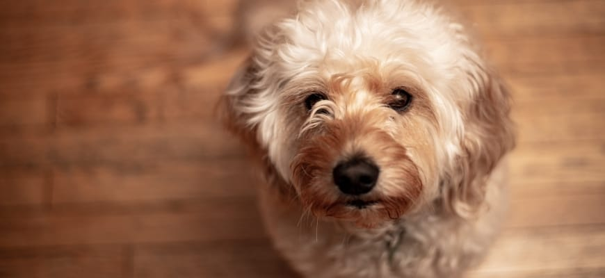 focus shot of a micro goldendoodle