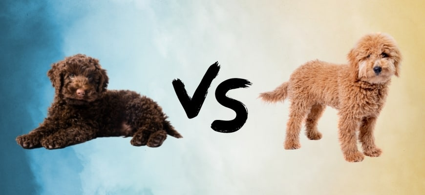 Mini Labradoodle vs. Mini Goldendoodle