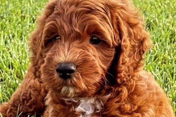 Mini red goldendoodle on grass