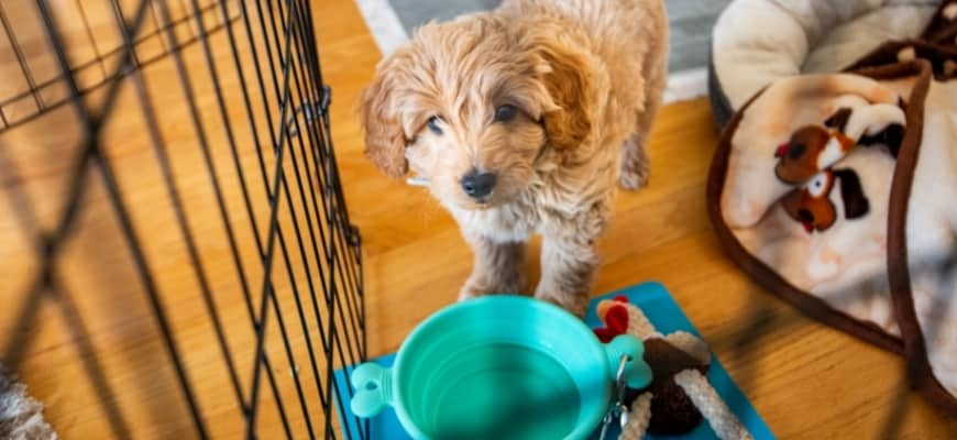 Miniature Golden Doodle Puppy and Potty Training