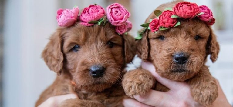 Sister goldendoodle puppies wearing flower crowns