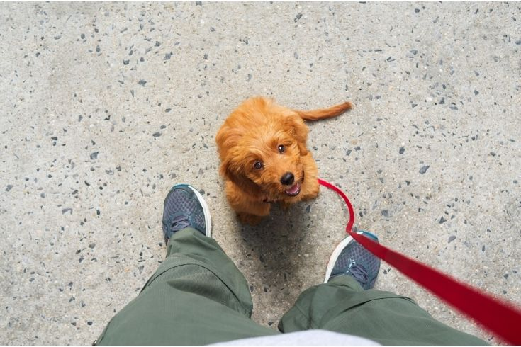 Training a Goldendoodle puppy dog