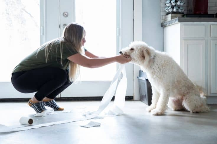 Woman fights with pet Goldendoodle dog over toilet paper mess in kitchen