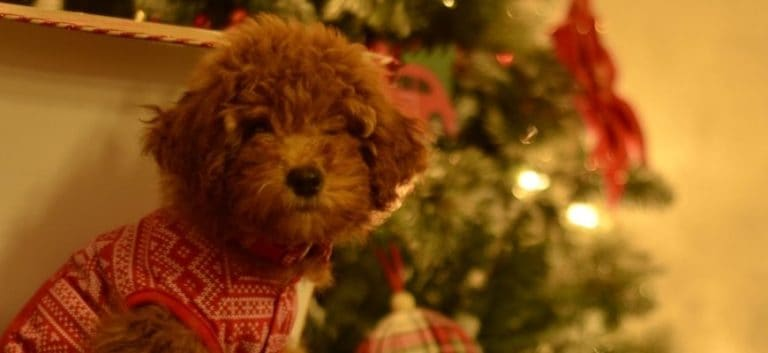 red mini goldendoodle on a Christmas theme