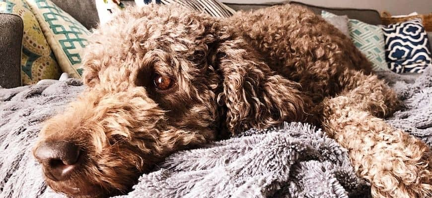 Brown Goldendoodle on couch