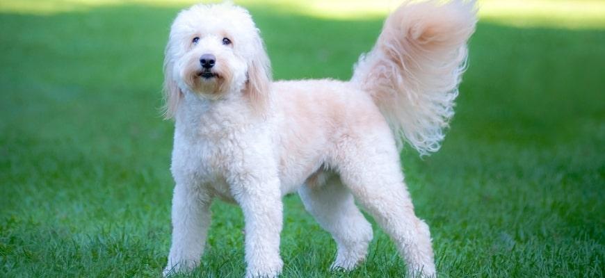 Goldendoodle Barking Featured Image