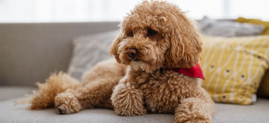 Goldendoodle brown puppy at home